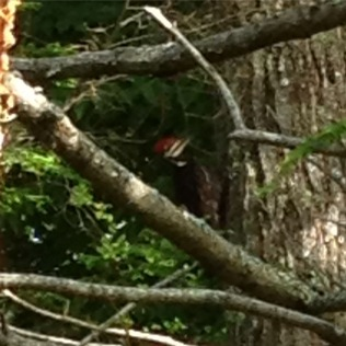 Pileated! 6/25/15