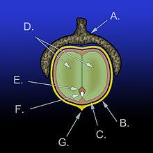 220px-Acorn_diagram
